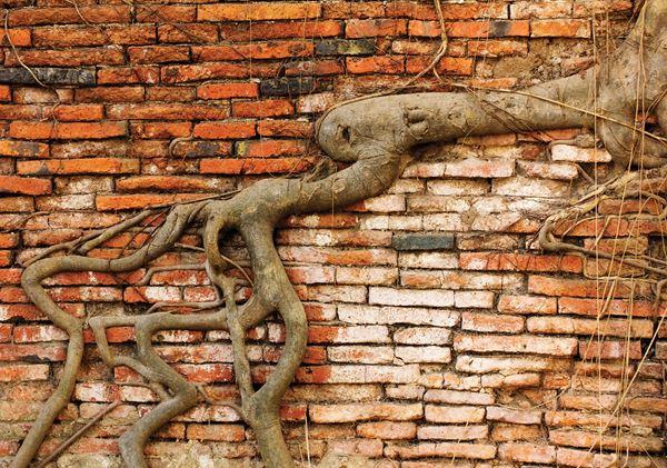 Obrazek Korzeń na murze